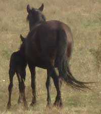 Foal and mother wild horses in Bulgaria