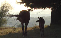 Mother and foal head off into the sunset wild horses of Bulgaria