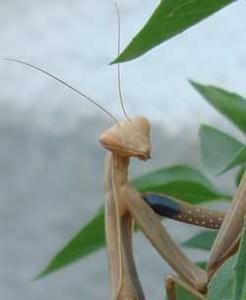 Bulgarian praying mantis preying!