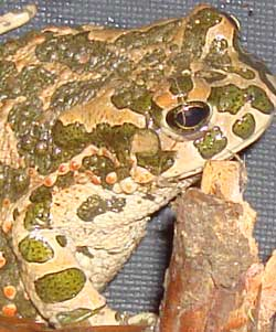 Green Spotted Toad Frog