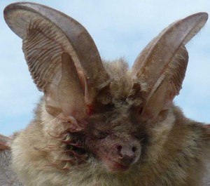 Bat with horns and sharp teeth in Bulgaria rare endangered species