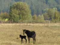 Bulgarian newborn foal