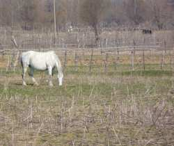 Bulgarian horses running wild grey white horse free to roam