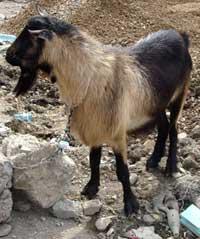 bulgarian-goats-2