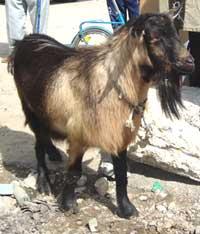 bulgarian-goats-3