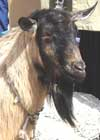 bulgarian-goats-4
