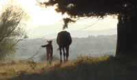 Newborn foal and mother set off into the sunset