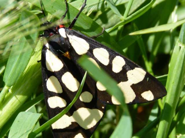Black white red yellow Moth Butterfly