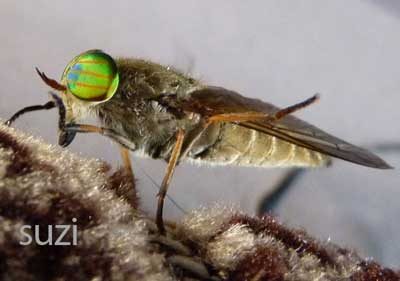 huge eyed fly with green and orange striped eyes