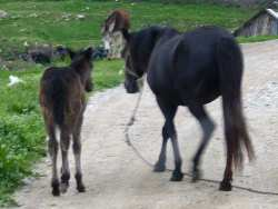 Bulgarian horse and foal