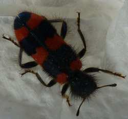red and black ladybird type bug and antennas!