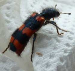 red and black ladybird type bug with cute furry hairdo!
