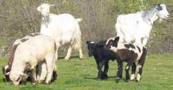 sheepsbodyguards!