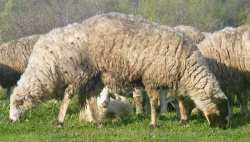 two headed sheep! Goats and sheep herds southern Bulgaria without genetic engineering!