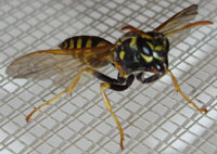 huge giant black yellow wasps