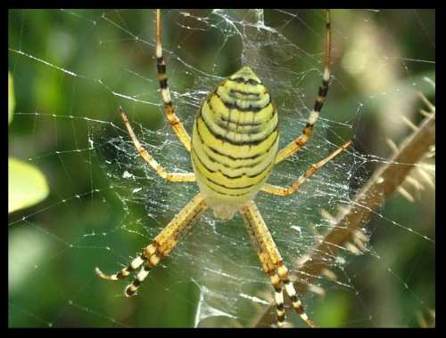 Yellow and black spider of Bulgaria BG