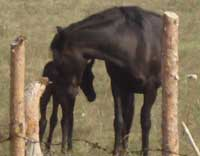 Black horse and newborn foal wild horses in Bulgaria