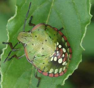 Bulgarian green fancy beetles