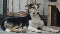 Dogs in Bulgaria pedigree street muts and Bulgarian strays