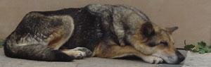 Dogs in Bulgaria pedigree street muts and Bulgarian strays