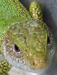Bulgarian cold blooded reptiles green lizards in Bulgaria