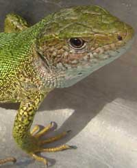 Bulgarian green lizards cold blooded reptiles
