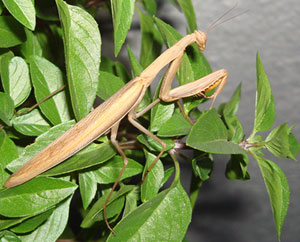 Preying mantis in Bulgaria