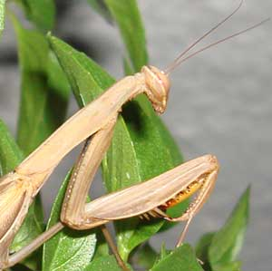 bulgarian-praying-mantis13