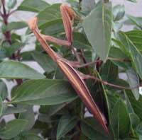 Preying mantis in Bulgaria
