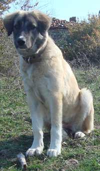Bulgarian sheepdog Sivas Kangal from Turkey now shepherd in Bulgaria