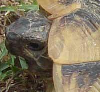 Tortoise in Bulgaria