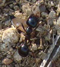 huge black ants