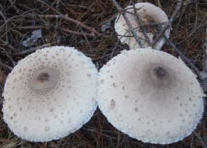 Giant Mushrooms!