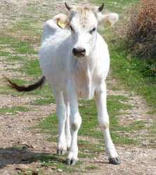 baby cows white devilish calfs