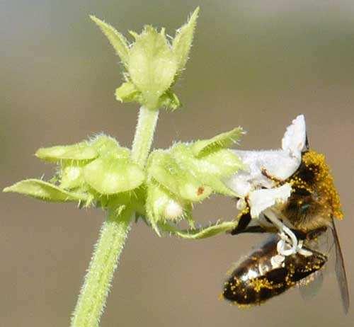 bees pollinating honey bee