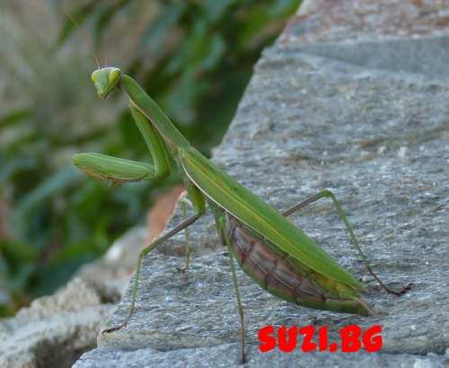 Pregnant praying mantis