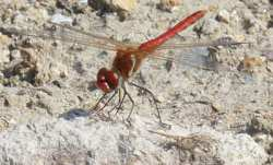Red dragonfly of Bulgaria