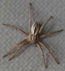 yellow stripe back spiders Steatoda Paykulliana