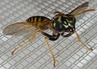 Huge wasps in Bulgaria