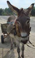 Working donkeys in Bulgaria the Bulgarian workhorse!