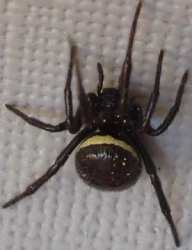 yellow stripe back spiders Steatoda Paykulliana