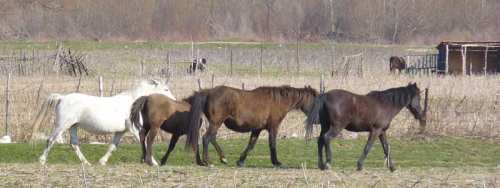 Wild pack of Bulgarian horses roaming free
