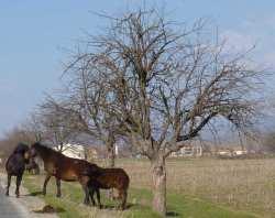 Bulgarian horses running wild grey white horse free to roam