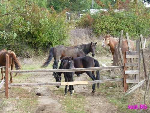 Bulgarian horses running wild with the brat pack