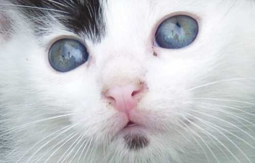 kittens with blue eyes and cats with mouse