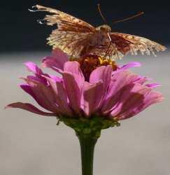 Moth eaten Bulgarian butterfly