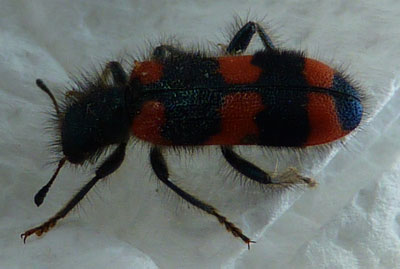 red and black ladybird type bug