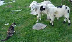 these baby goats and sheep spook my cat as they all gang up on her!