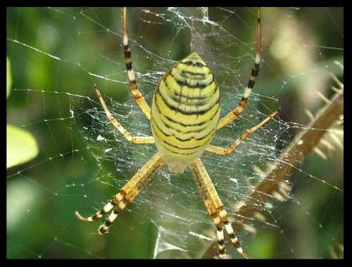 yellow and black spider of Bulgaria BG