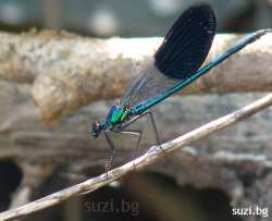 mating dragonflies blue turquoise fairy orgy of dragonfly by the river fairies